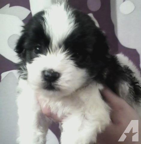 pic only maltipoo black and white..so sweet