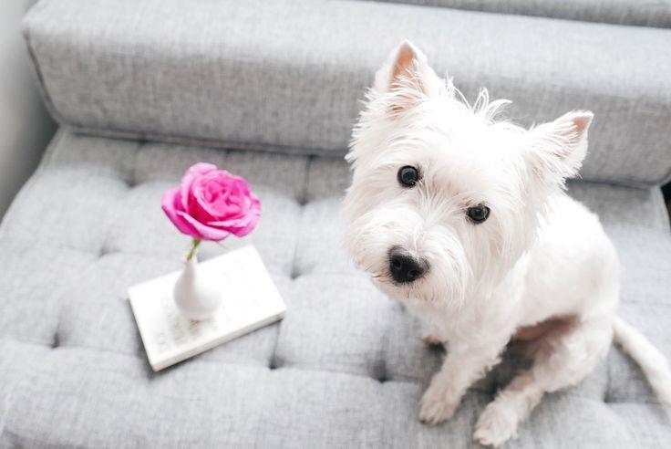Lucy the WestieBestie | The Westie Besties | Follow The Westie Besties on Instagram: http://www.instagram.com/thewestiebesties | Photo by Katherine Penfold | #WestHighlandTerrier #Westies #WestHighlandWhiteTerrier #Dogs #Pets #WestieBesties