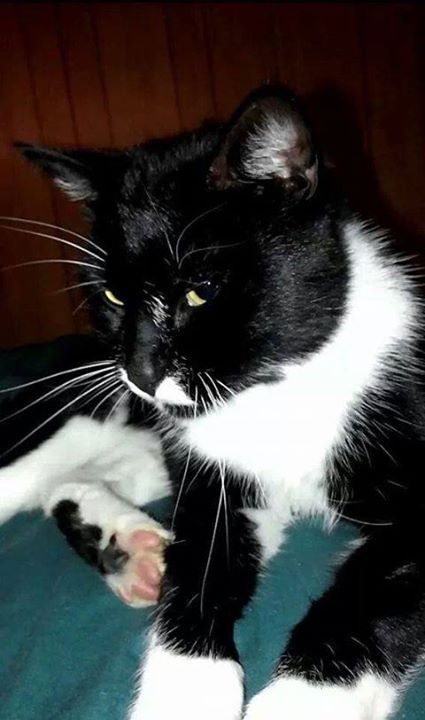 Best CATSNEED ADOPTIONFOSTERASAP Images On Pinterest - Adorable photos of black shelter cats help them find their forever homes