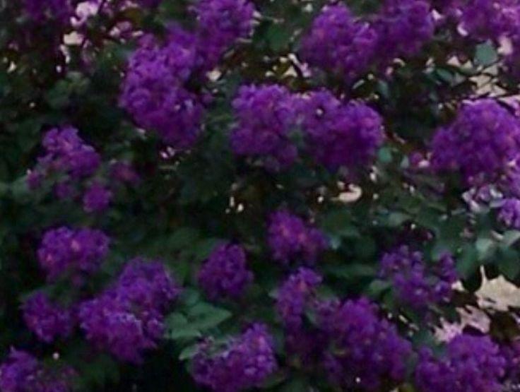 Twilight Purple Crape Myrtle