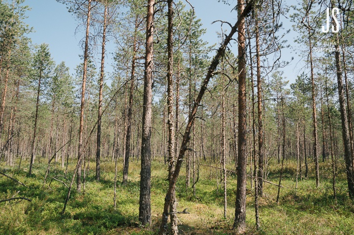 Swamp forest in summertime #Finland #swamp #forest