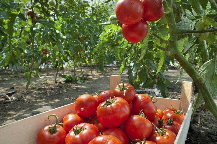 Я никогда не верила в силу народных средств на огороде. В нашем садоводстве агроном смеется над теми, кто пытается ухаживать за растениями при помощи народных средств. Говорит, что они только вредите…