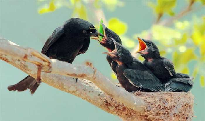 The Beauty of Bird Photography by John & Fish A loving Black Drongo mother, feeding her chicks