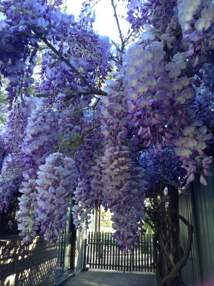 My Wisteria In Full Bloom Central Coast Nsw Australia