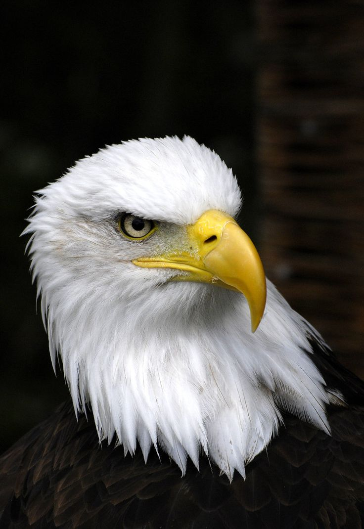 Bald Eagle (For your liberty and freedom)