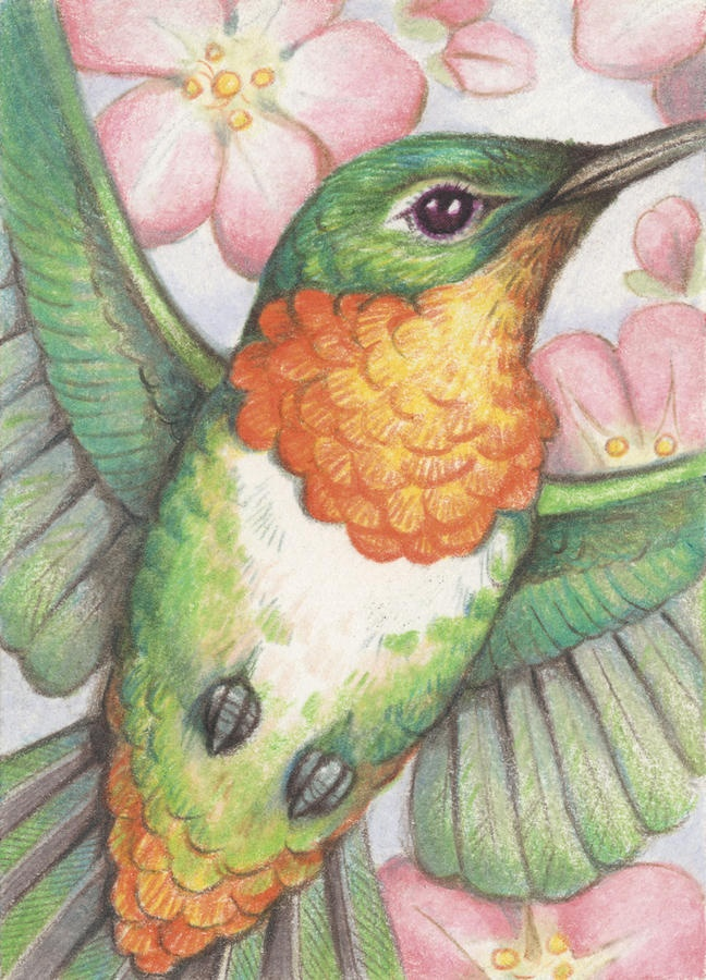 Apple Blossom Hummer Drawing by Amy S Turner - Apple Blossom Hummer Fine Art Prints and Posters for Sale
