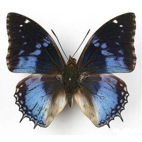 Vlinders :: Charaxes smaragdalis