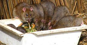 Veneno casero para ratas y ratones