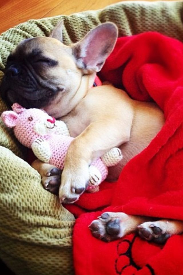 Sleeping French Bulldog Puppy with friend (check out those itty-bitty feet) ❤: