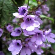 Australian Balm Mint Bush a lovely minty essential oil. It does smell of the Australian Bush and such a pretty flower