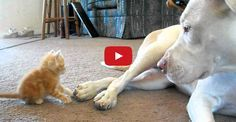 See what happens when a cute kitten meets a great big Pitbull.