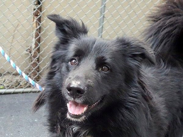 TO BE DESTROYED 7/12/14 Manhattan Center   My name is RUFFUS. My Animal ID # is A1005721. I am a male black and white border collie mix. The shelter thinks I am about 2 YEARS   I came in the shelter as a STRAY on 07/05/2014 from NY 11432, owner surrender reason stated was STRAY. https://www.facebook.com/photo.php?fbid=835055239840690&set=a.611290788883804.1073741851.152876678058553&type=3&theater
