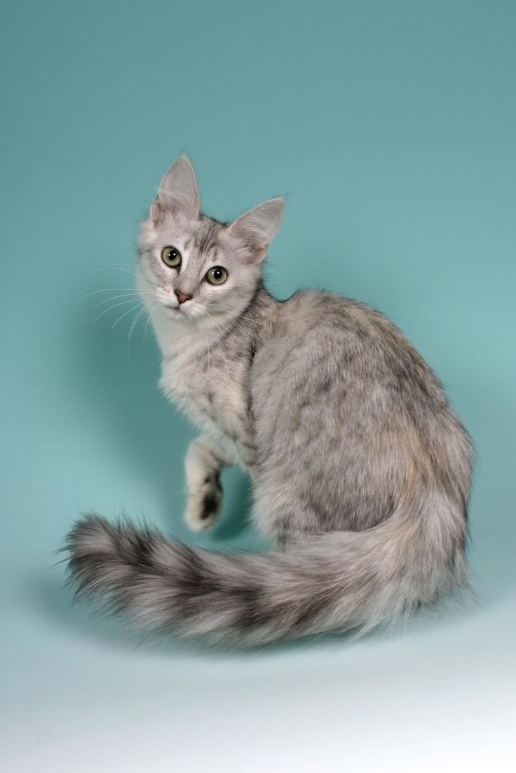 45 best Cat Breed Turkish Angora images on Pinterest