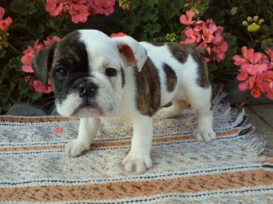 #Wrinkles #CuteNCuddly #MansBestFriend #PuppyLove #BulldogLove #EnglishBulldog…