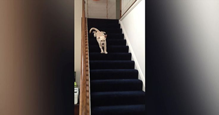Puppy Hears Kids Screaming Downstairs, Conquers Fear Of Stairs To Help Them