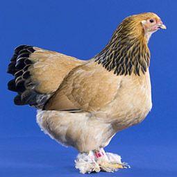 Chicken Breeds - Brahma