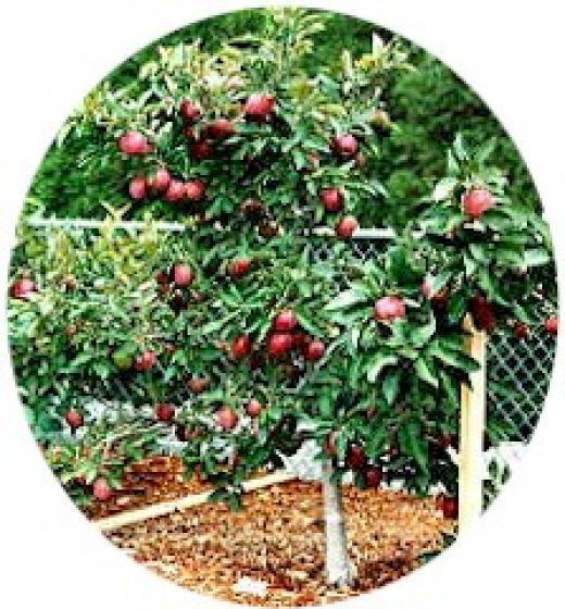 """A dwarf fruit tree is a small tree that bears regular-sized fruit. There are various sizes of dwarf trees, from some small enough to grow in box planters, up to """"semi-dwarfs"""" ."""