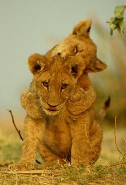 Africa | Two African lion cubs playing.  Chobe National Park, Savuti Region, Botswana |© National Geographic / Beverly Joubert