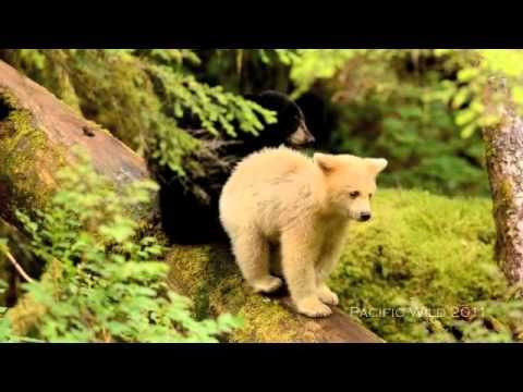 Spirit Bear Cub In The Great Rainforest