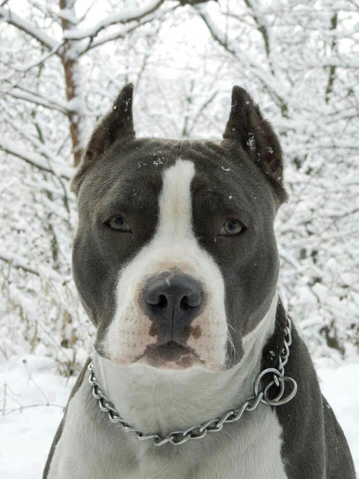Amstaff  What a beauty!