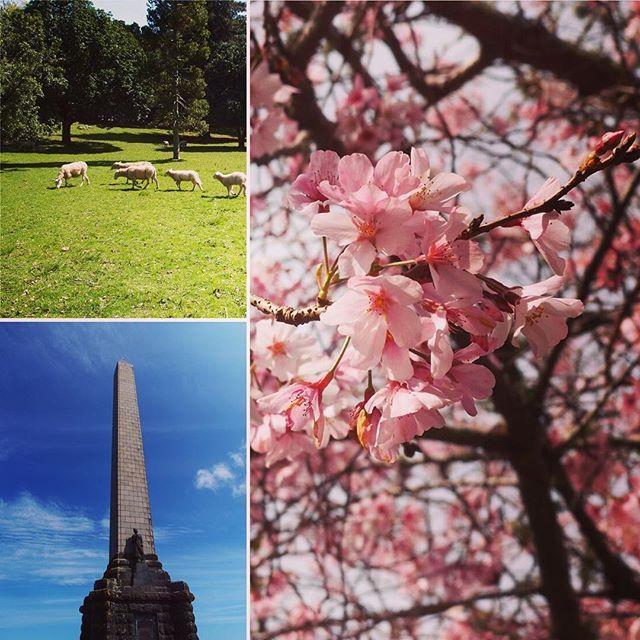【yukainainaba】さんのInstagramをピンしています。 《ニュージーランドで花見🌸  I went to the one three hill with my friends. Cherry blossoms were very beautiful.🐏🌸🇳🇿🤗 #nz #auckland #onetreehill #cherryblossom #sheep #beautiful  #ニュージーランド #オークランド #桜 #花見 #ひつじ #かわいい》