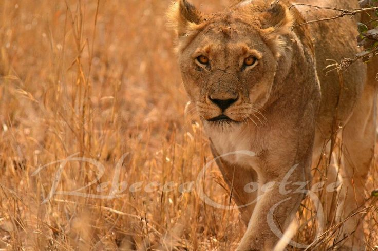 Lioness on the prowl.  #RebeccaCoetzeePhotography