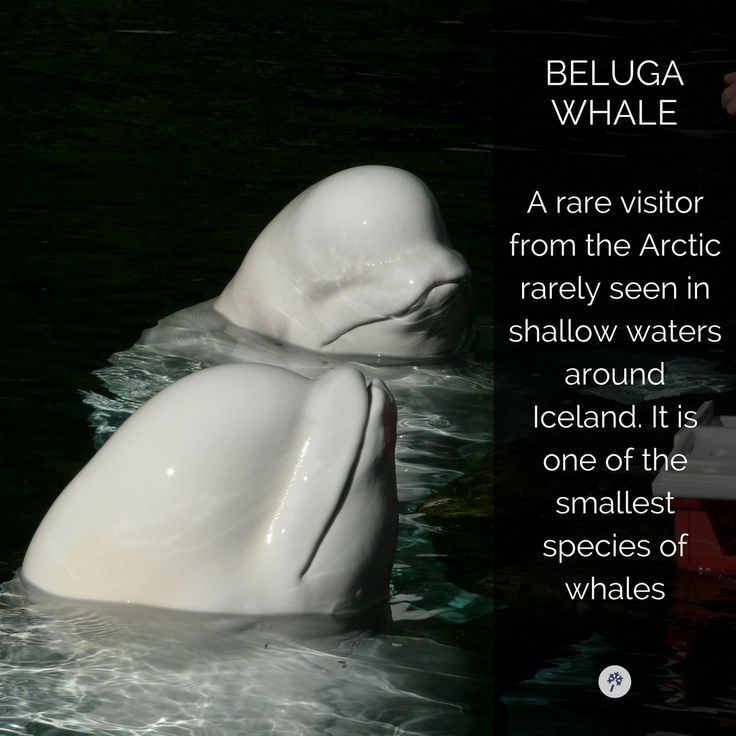 Look at this really #cute #BelugaWhale in #Iceland! Explore #IcelandicAnimals with www.tour.is!