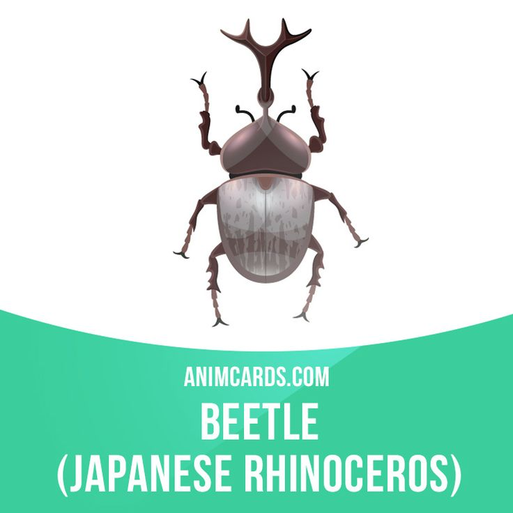 This species is present in Japan, Taiwan, Korean Peninsula and eastern China. It can be found in broad-leaved forests in tropical and subtropical mountainous habitats. Japanese rhinoceros beetles are very popular in anime, tokusatsu, advertisements, televisions, and films in Japan. Many children in Japan buy or catch these beetles and breed them. Learning English can be fun! Visit our website: learzing.com #english #englishlanguage #learnenglish #studyenglish #language #vocabulary #dicti