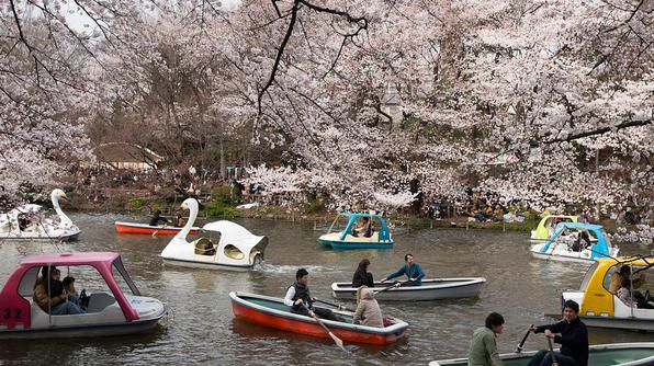 "From the end of March to early May, cherry blossoms (known as ""sakura"") bloom all over Japan!"