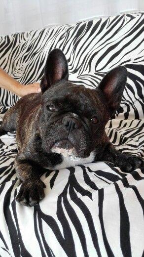 Mila, french bulldog