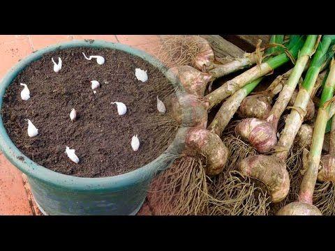 No lo vuelvas a comprar más, Cultiva tu ajo en casa, fácil en una maceta | Me curo en Salud