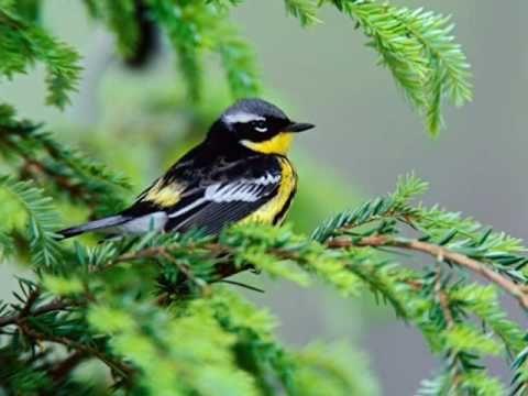 Ptaki śpiewają- kocham .Czeslaw Niemen