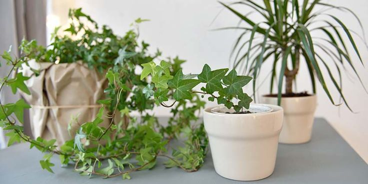 "English Ivy is a popular ""natural remedy"" for removing mold spores from your indoor air. But, does it actually work at cleansing the air?"