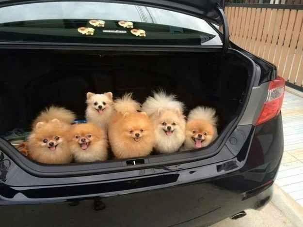 Lol, Poms in the Trunk!!