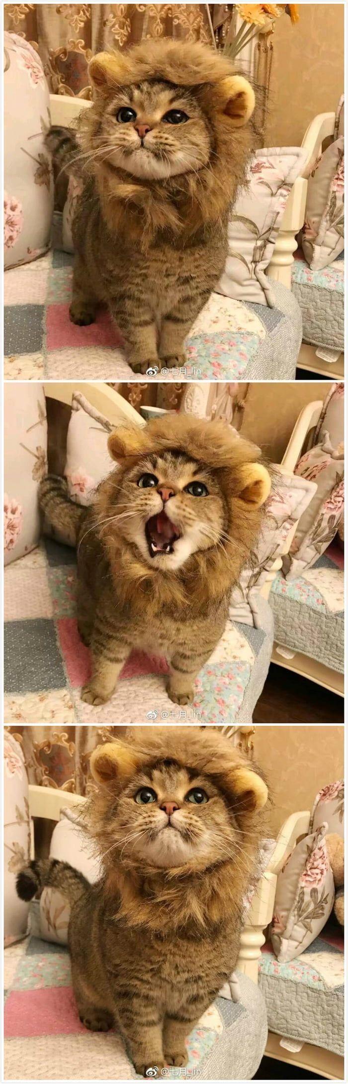 So ein wütender Löwe –   #