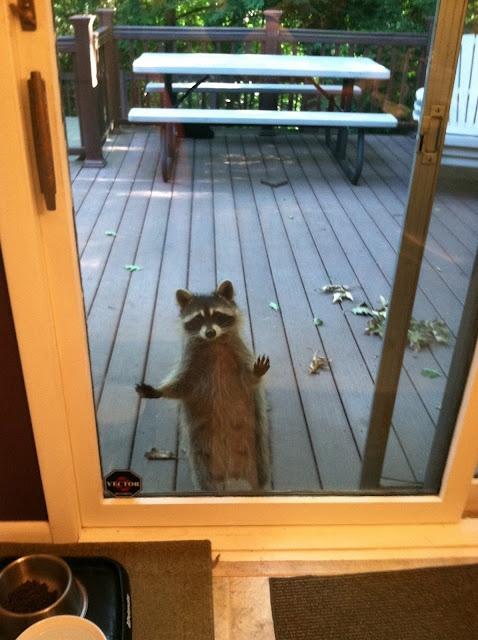 154 Best Ideas About Raccoons On Pinterest Cat