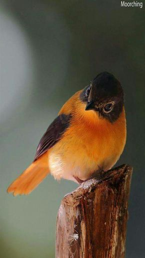 Black and Orange Flycatcher birds live in Southern India ...