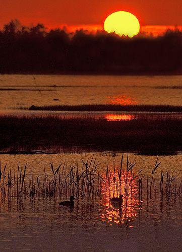 Summer Morning Ducks