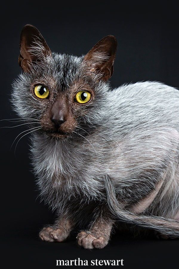 The Best Cat Breed For You Based On Your Personality Type In 2020 Lykoi Cat Best Cat Breeds Werewolf Cat