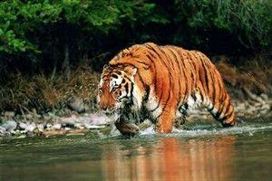 Tigre: su población ha disminuido a más del 60% por la invasión humana de su hábitat y, de nuevo, la caza furtiva (también se le atribuyen poderes en la medicina oriental). El mayor felino del planeta, antes campaba a sus anchas desde Turquía a Rusia. En la actualidad, ya han desaparecido las subespecies de Caspio, Java, sur de China (sólo vive en zoos) y Bali.