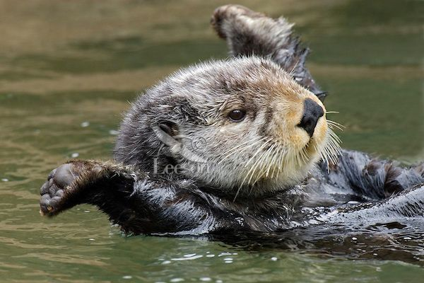 Sea Otter (Enhydra lutris) stretching after short nap.....I died. For real. Too cute for words!