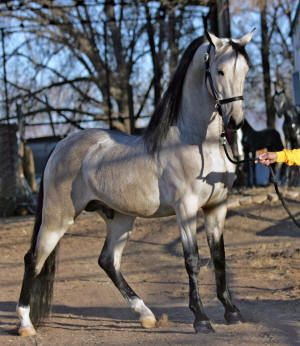 American Saddlebred | AMERICAN SADDLEBRED & FRIESIAN HORSES FOR SALE (SCROLL DOWN)