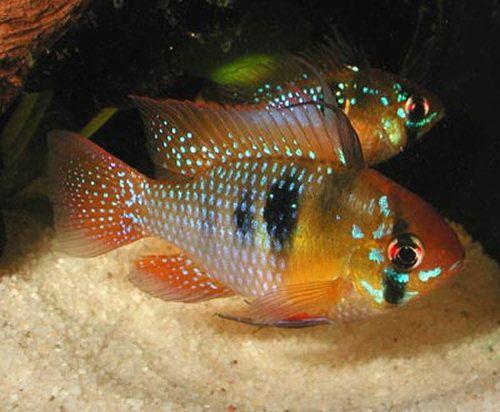 Mikrogeophagus ramirezi (Ramirezi) - AquaPortail