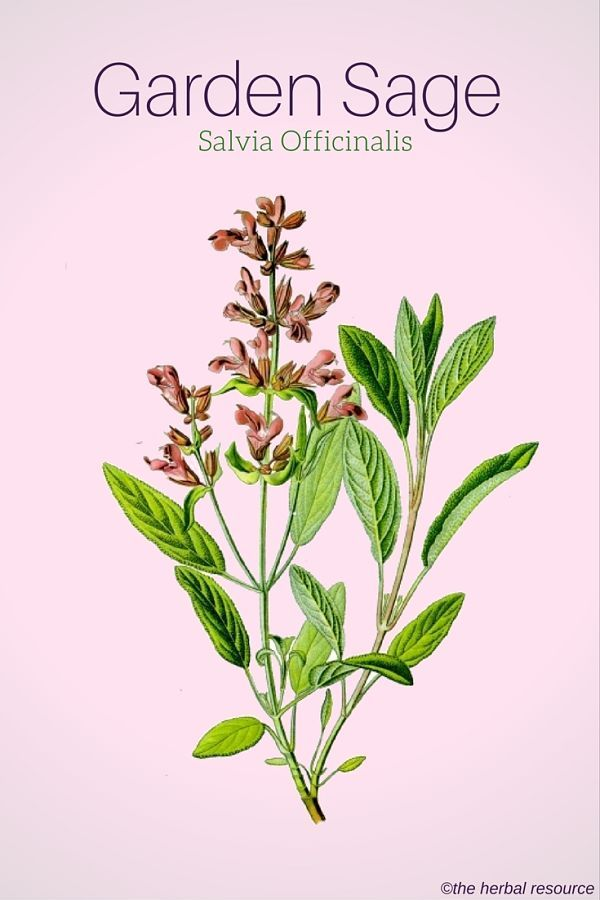 Garden or Common Sage (Salvia Officinalis)