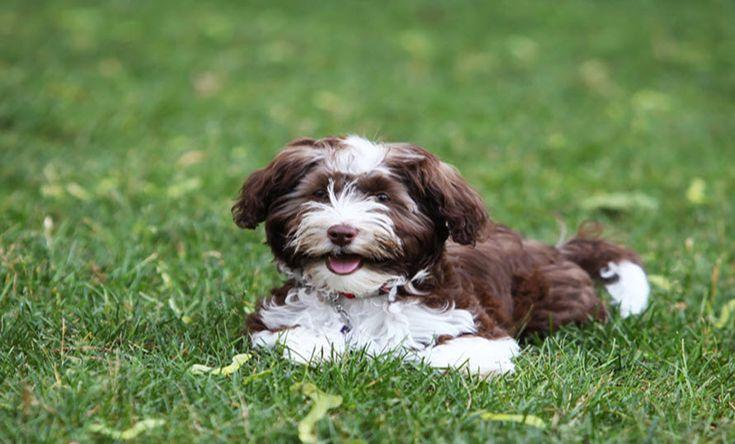 Havapoo breed characteristics puppyspot breeds