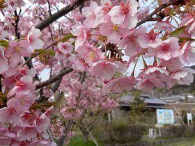 京の早咲き桜でお花見河津桜で春の訪れ一足先に味わう贅沢京都府トラベルjp 旅行ガイド