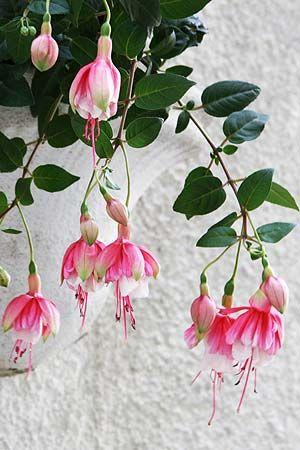 . Os beija-flores adoram as flores pendentes roxas e vermelhas  ou brancas e rosadas do brinco-de-princesa