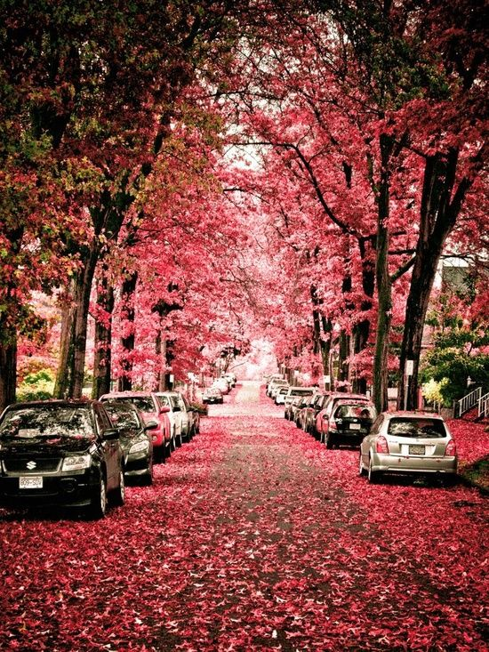 Vancouver Canada, Spring.  They plant cherry trees so the height does not affect the pole wires.  Smart Canadians.