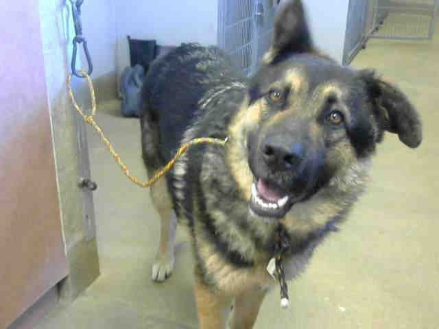 German Shepherd Dog Dog For Adoption In Sacramento Ca Adn 826108
