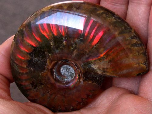478 5ct Iridescent Ammonite Ammolite Facet Rough Specimen Fossil